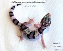 Eublepharis angramainyu (подросток, локалитет: Илам)