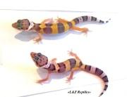 Малыш пятнистого эублефара - леопардового геккона