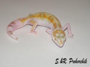 "Пятнистый эублефар Aurora (Bell albino W&Y) ""Prohorchik Reptiles"""
