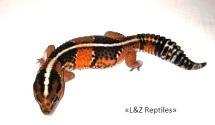 Гемитеконикс Tangerine Stripe