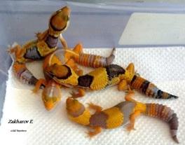 Hemitheconyx caudicinctus - Гемитеконисы