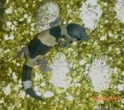 Малыш Hemitheconyx caudicinctus