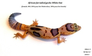 African fat tailed gecko White Out