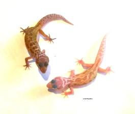 Леопардовый геккон Leucistic «Murphy Patternless»