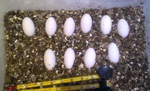 Яйца Varanus acanthurus