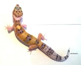 Леопардовый геккон W&Y het Bell Albino, het Murphy Patternless