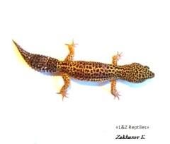 Пятнистый эублефар - Леопардовый геккон