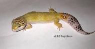 Eublepharis macularius Super Hypo