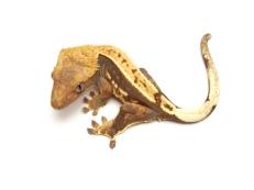 Ресничный геккон - бананоед Correlophus ciliatus