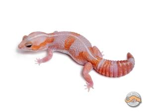 Гемитеконикс Амеланистик, африканский толстохвостый геккон amelanistic