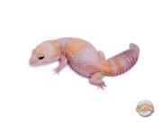 Гемитеконикс Амело, африканский толстохвостый геккон Amelanistic
