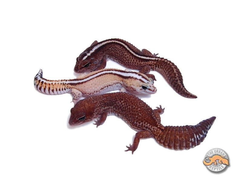 Гемитеконикс Паттернлесс, Африканский толстохвостый геккон морфы Patternless