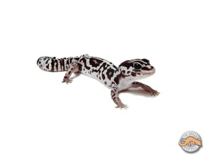 Гемитеконикс Вайт Аут, Африканский толстохвостый геккон White Out