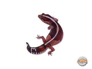 Гемитеконикс Зеро, Африканский толстохвостый геккон морфы Zero