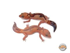 Гемитеконикс Зулу, Африканский толстохвостый геккон Zulu