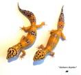"""Питомник пятнистых эублефаров - леопардовых гекконов """"Zakharov Reptiles"""""""