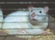 Кормовые крысы