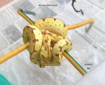 Morelia viridis Lereh