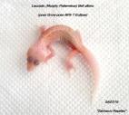 Леопардовый геккон Murphy Patternless Bell albino
