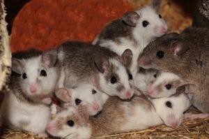 Мастомис - Натальная крыса . Mastomys natalensis