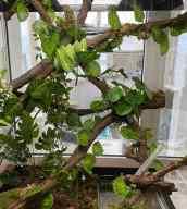 Chondropython Morelia viridis Lereh