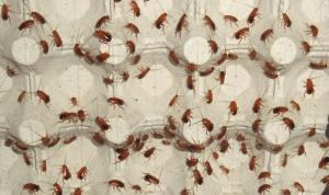Туркменский таракан купить. Shelfordella tartara купить