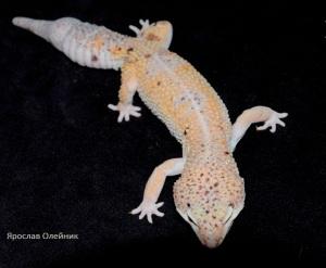 Леопардовый геккон W&Y от Олейника Я.
