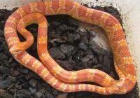Маисовый полоз альбино  (Pantherophis guttatus amelo)