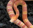 Маисовый полоз альбино Pantherophis guttatus Amelo