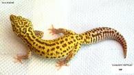 Леопардовый геккон РАДАР
