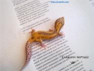 Леопардовый геккон морфы РАДАР