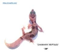 Леопардовый геккон Enigma Super Snow