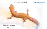 Леопардовый геккон Нова (Энигма РАПТОР)