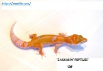 Леопардовый геккон Энигма