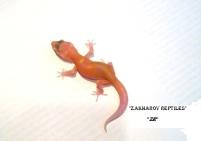 Леопардовый геккон Санглоу АПТОР