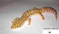 Леопардовый геккон Белл альбино