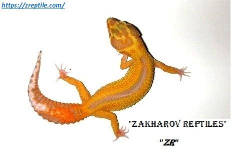 Эублефар Страйп / Леопардовый геккон морфы Stripe / Eublepharis macularius Stripe morph / Пятнистые эублефары морфы Страйп / Stripe Leopard gecko