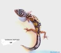 Леопардовый геккон Джангл