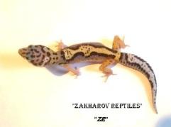 Леопардовый геккон морфы Джангл