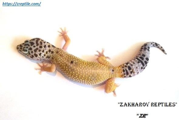 Эублефар Гипо / Леопардовый геккон морфы Hypo (Hypomelanistic) / Eublepharis macularius Hypomelanistic (Hypo) morph / Hypo Leopard gecko