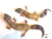 Леопардовый геккон Гипо (Hypomelanistic)