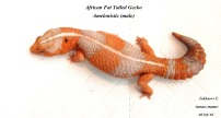 Гемитеконикс Амело / African Fat Tailed Gecko Amelo