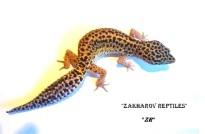 Леопардовый геккон Eublepharis macularius