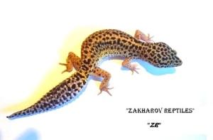 Пятнистый эублефар (Eublepharis macularius - Leopard gecko)