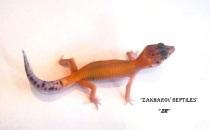 Пятнистый эублефар Patternless - Stripe Tangerine