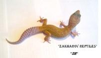 Леопардовый геккон Murphy Patternless