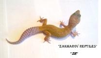 Леопардовый геккон морфы Леуцистик, Марфи Паттернлесс