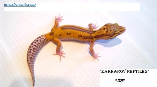 Эублефар РАДАР / Леопардовый геккон морфы RADAR / Eublepharis macularius RADAR morph / RADAR Leopard gecko