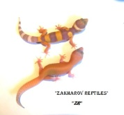 Леопардовый геккон РАПТОР