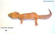 Пятнистый эублефар Tangerine Tremper Albino